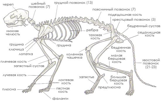 Скелет абиссинской кошки состоит
